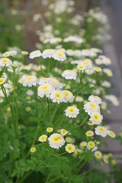 白い花の野草