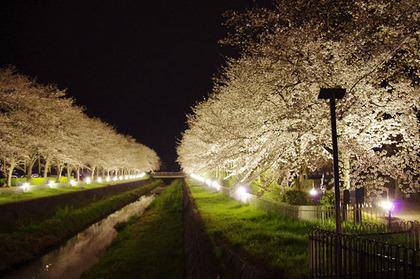 100331_koseSakura.jpg